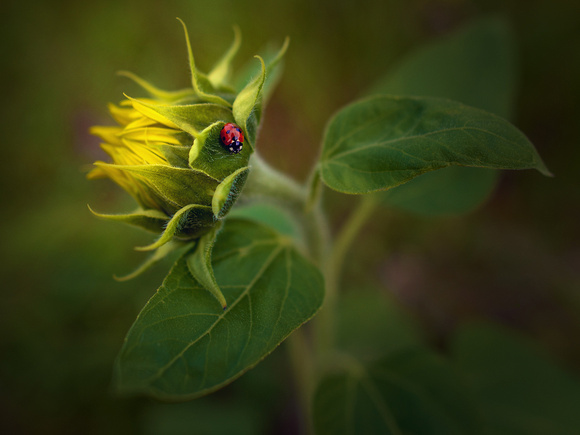 Sunflower bud with a ladybird. Vignetted image to highlight the ladybird. Cane End, Oxfordshire.