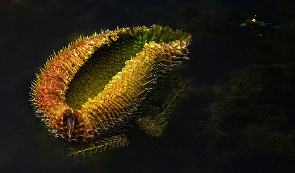 Victoria Amazonica. Unfurling leaf. Singapore Botanic Gardens.