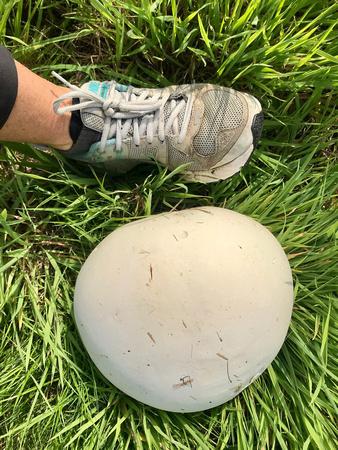 Giant puffball( Calvatia gigantea)