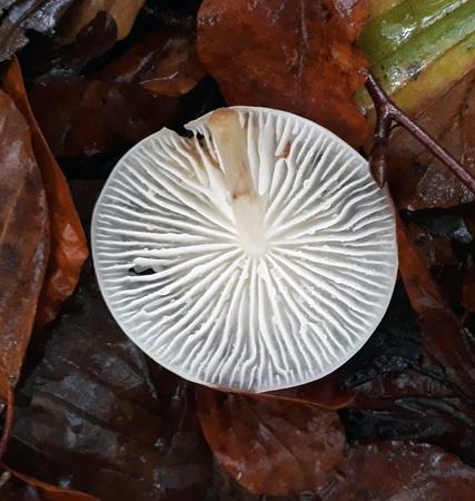 Porcelain fungi (Oudemansiella mucida)
