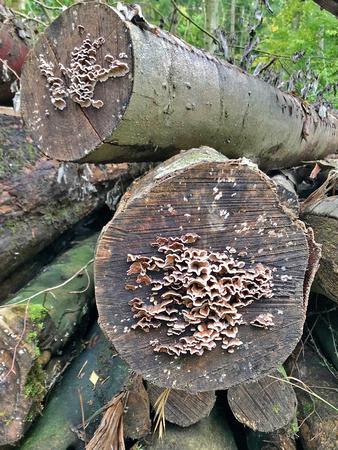 Stereum hirsutum (crust fungus)